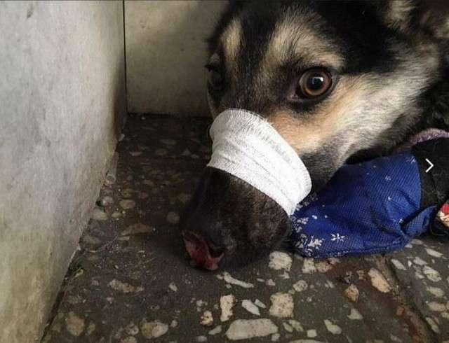 В Улан-Удэ неизвестные отрубили псу три лапы и нос (18+)