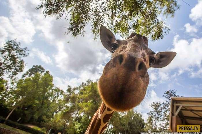 Знакомьтесь жираф (11 фото)