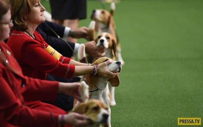 Самая престижная в США выставка собак (32 фото)