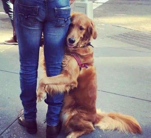 Золотистый ретривер обнимает каждого, кого встречает во время прогулки (10 фото)