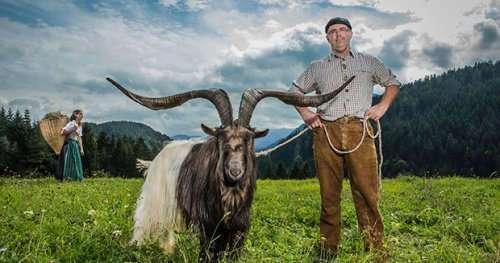 Козёл с самыми широкими рогами живёт в Австрии (6 фото + видео)