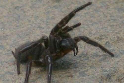 Топ-9: самые ядовитые в мире пауки