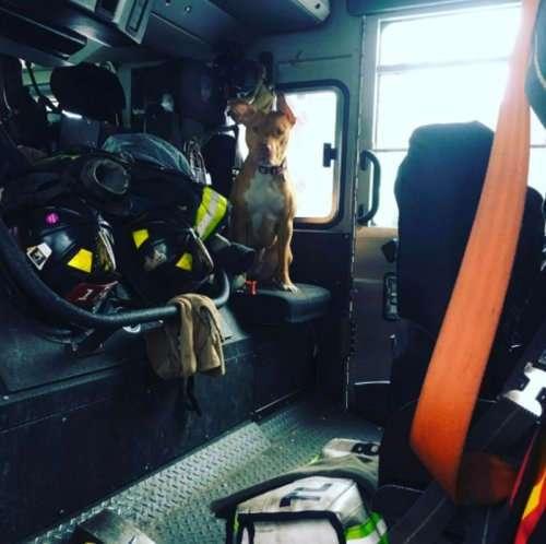 Голодавшая собака, брошенная хозяевами умирать, подружилась с пожарными и теперь живёт в пожарной части (7 фото)