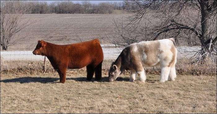 Плюшевые красавицы-коровы из Айовы
