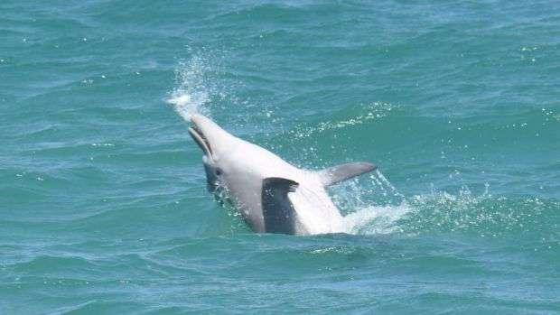 Как рыба фугу помогает -прибалдеть- австралийским дельфинам