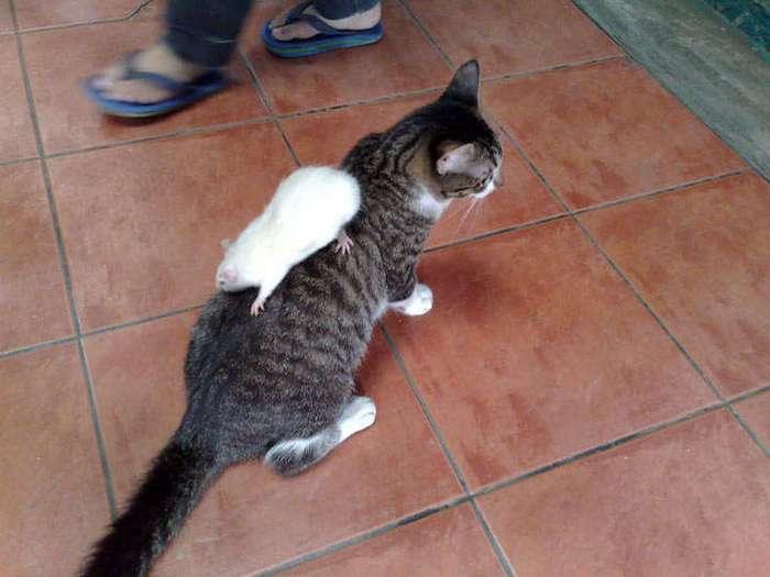 Кот и мышь — лучшие друзья? Да запросто!