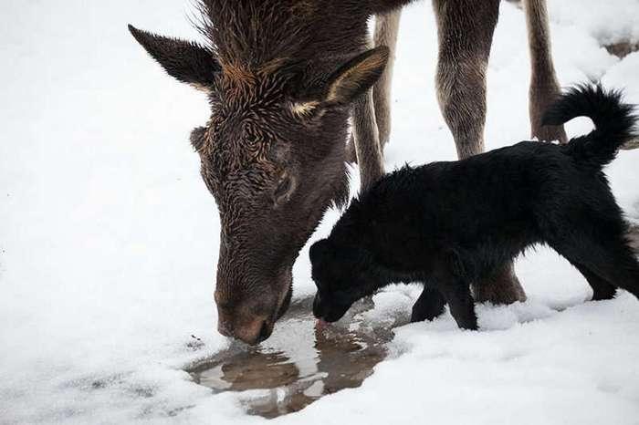 Как собака, только очень большая — репортаж из жизни на ферме лося Гриши