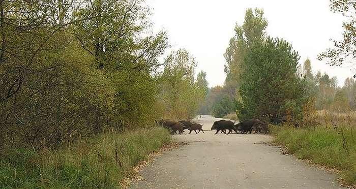 Животные правят Чернобылем после ядерной катастрофы