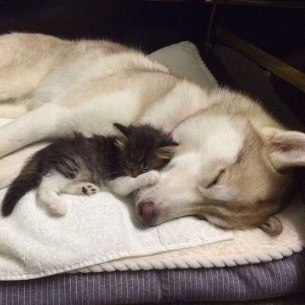 Хаски Лило выходила бездомного котёнка