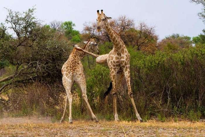 Бой жирафов в стиле кунг-фу