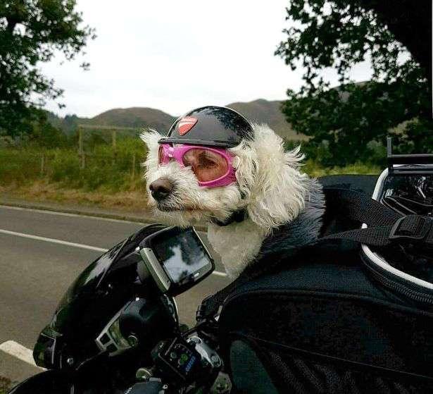Очаровательная собака стала настоящей байкершей