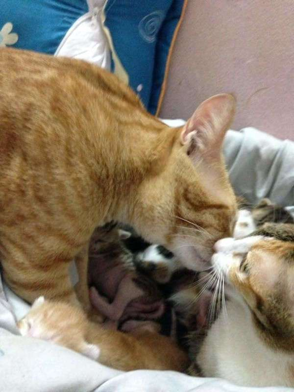 Кот-отец поддержал свою кошку во время родов
