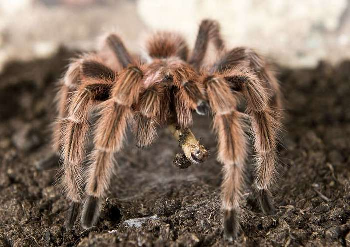 Как разводят пауков-птицеедов в Чили