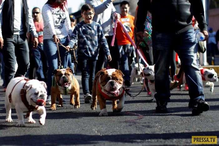 Новый рекорд Гиннеса – 900 английских бульдогов на улицах Мехико (14 фото)