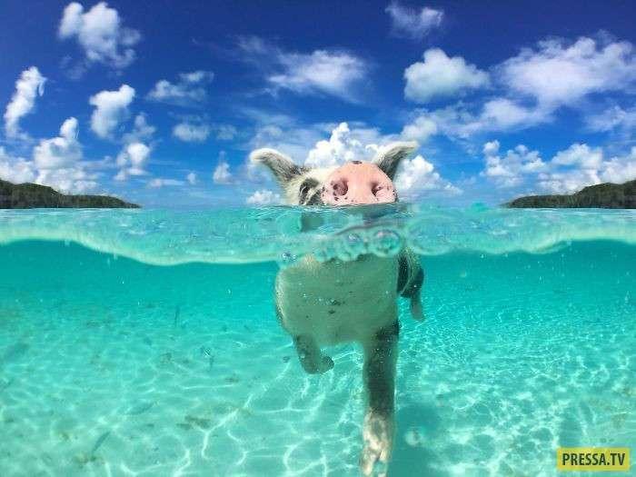 Несчастный случай с миниатюрными плавающими свинками на Багамах (10 фото)