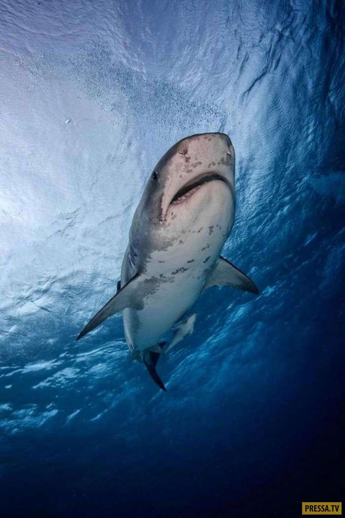 Уникальные фотографии дайверов с акулами у Багамских островов (13 фото)