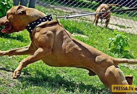 ТОП-10 мифов и заблуждений про породу собак питбуль (10 фото)