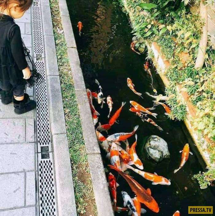 В Японии такая чистая вода в сточных канавах, что там живут карпы (12 фото)
