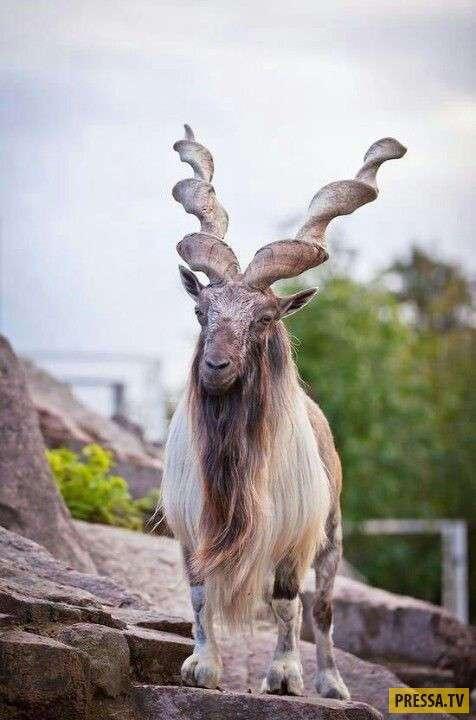 Вот это рога! (32 фото)