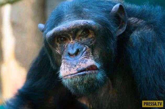 ТОП-10 удивительных и ужасных фактов о шимпанзе (10 фото)