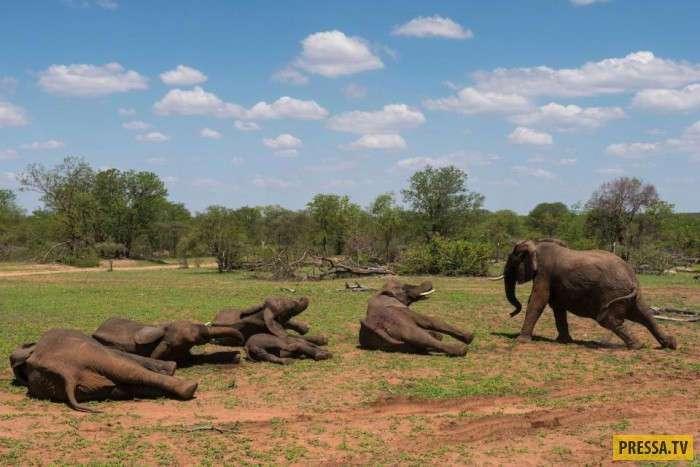 Возвращение сбежавших слонов в заповедник (16 фото)