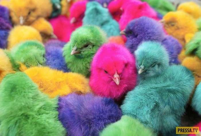 Цветные цыплята - все очень просто (5 фото)