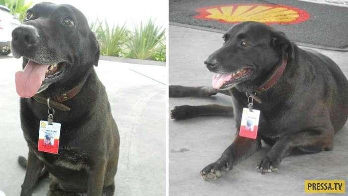 Спасенные собаки-трудяги (10 фото)