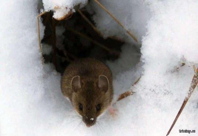 Как под снегом выживают мелкие зверьки и насекомые (12 фото)