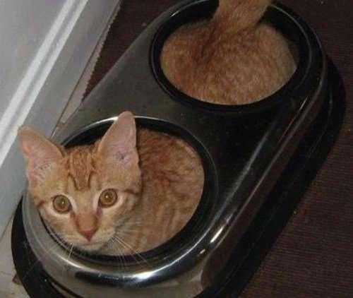Смешные кошки, которые разучились правильно есть (10 фото)