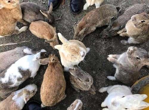 Кроличий остров: японский остров, где живут сотни дружелюбных кроликов (12 фото)