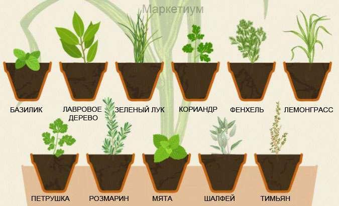 Как выращивать травы в домашних условиях (мяту, тмин, розмарин...)