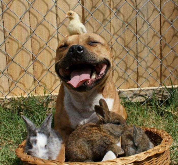 Бум – питбуль, который любит кроликов (10 фото)