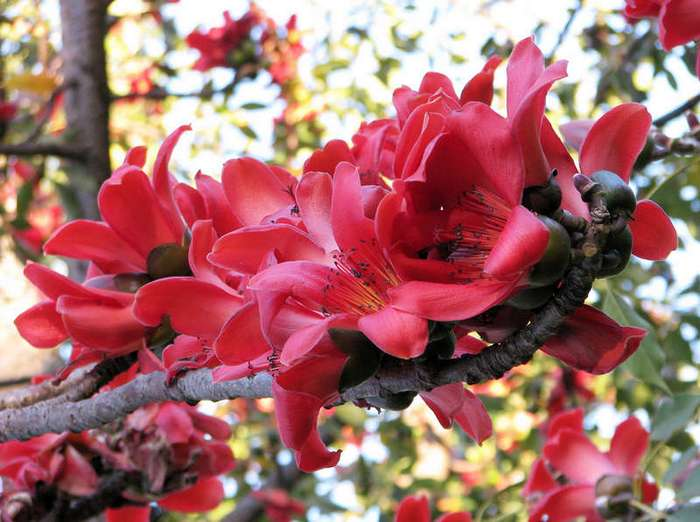 Цветение эвкалипта и другие чудеса природы