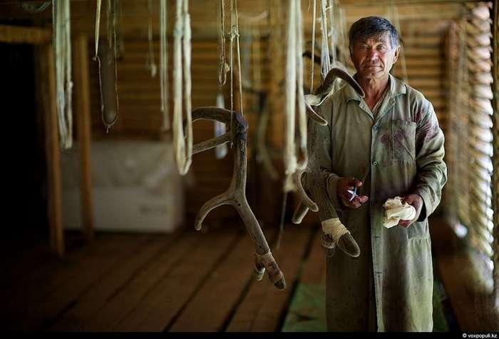 Как добывают пантокрин из оленьих рогов