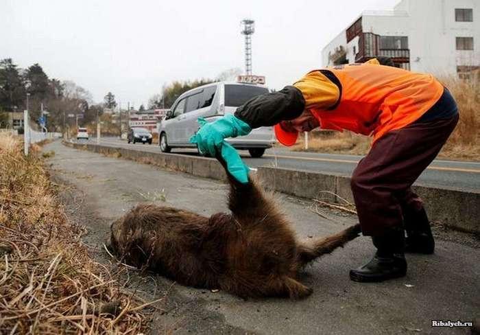 Зона отчуждения вокруг АЭС -Фукусима-1- захвачена дикими кабанами (12 фото)