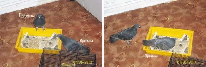История одного голубя-подобранца (9 фото)