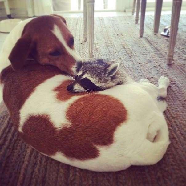 Енот, которого приютила семья с собаками, теперь думает, что он тоже собака.