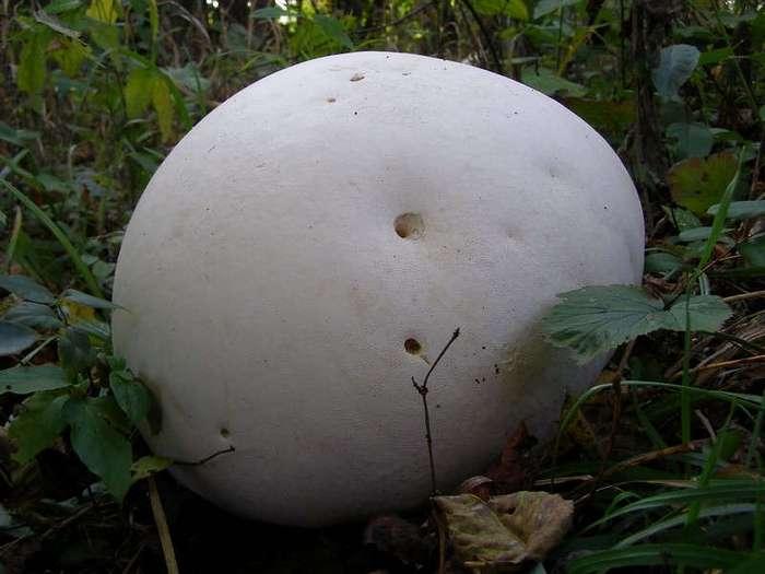 Гигантский гриб головач