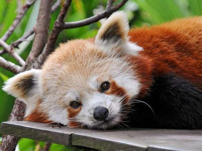 Firefox или Малая Панда