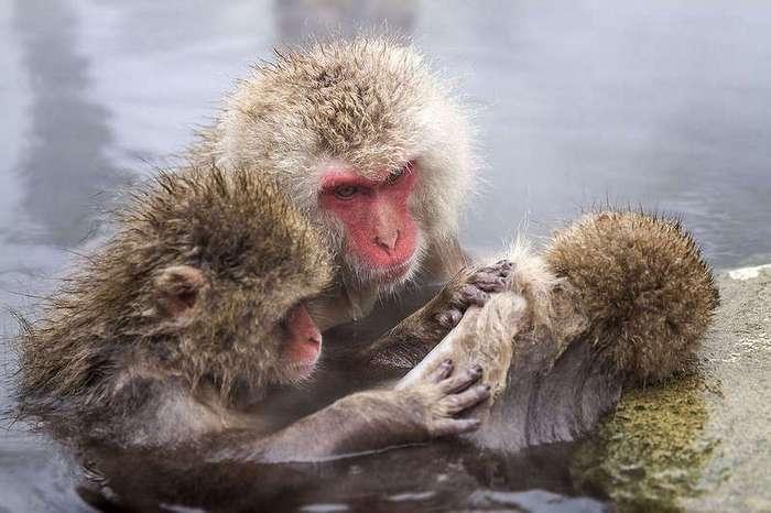 Самые северные обезьяны в мире
