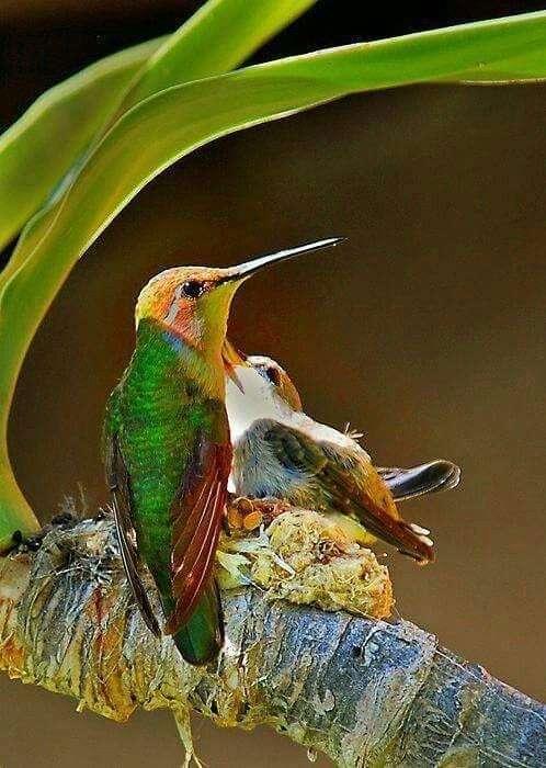 Маленькое чудо - колибри