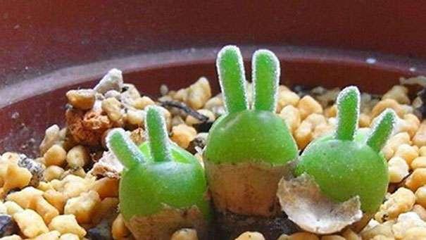 Необычные растения в виде кроликов набирают популярность в Японии