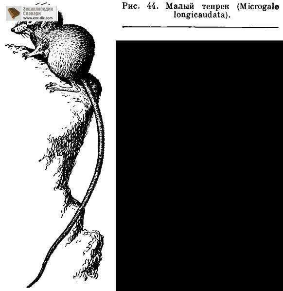Тенреки, или щетинистые ежи