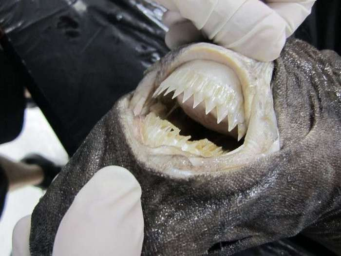 17 жутких фоток: какие сюрпризы таятся во рту и в пасти у животных