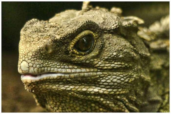 Чудо природы -древнейшая трехглазая рептилия туатара