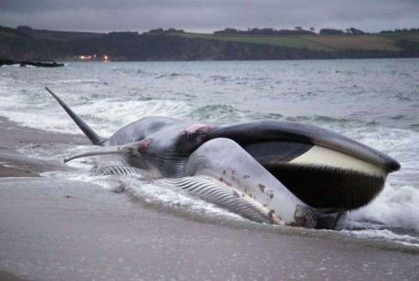 Почему киты и другие морские животные выбрасываются на берег