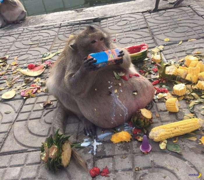 Макаку по кличке -Жируха- посадят на диету