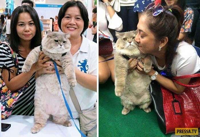 Огромный плюшевый кот - пушистая знаменитость в Таиланде (13 фото)