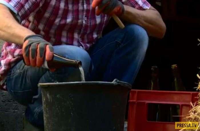 Секрет отменной мраморной говядины от бельгийского фермера (8 фото)
