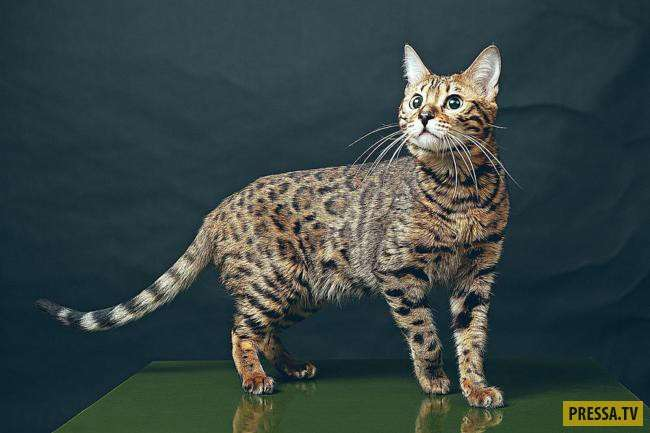 ТОП-10 самых дорогих пород кошек в мире (10 фото)